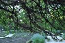 Árbol del Amor_4