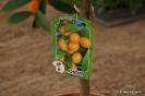 Citrus Japónica_1