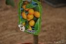 Citrus Japónica_2