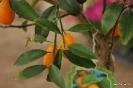 Citrus Japónica_3
