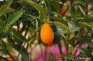 Citrus Japónica_4