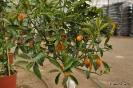 Citrus Japónica_6