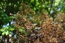 Continus coggygria purpureus_12