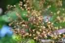 Continus coggygria purpureus_14