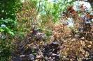 Continus coggygria purpureus_15