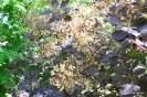 Continus coggygria purpureus_16