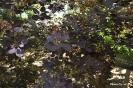 Continus coggygria purpureus_2