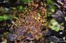 Continus coggygria purpureus_3