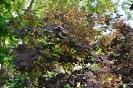 Continus coggygria purpureus_5