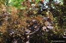 Continus coggygria purpureus_6