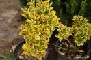 Evonimus - Euonymus japonica
