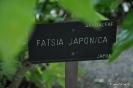 Fatsia Japónica_1