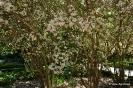 Kolkwitzia Amabilis_12