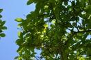 Kolkwitzia Amabilis_21