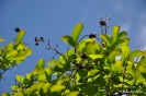 Kolkwitzia Amabilis_26
