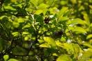 Kolkwitzia Amabilis_28