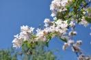Kolkwitzia Amabilis_7