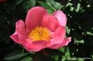 Paeonia lactiflora, peonía