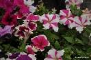Petunia y Petunia hybrida