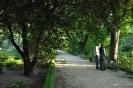 Pissardii Prunus Cerasifera