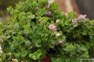 Poligala - Polygala myrtifolia