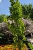Quercus robur fastigiata