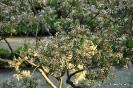 Rhaphiolepis Indica_2