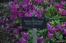 Rhododendron Blue Danube