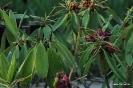 Rhododendron Macrophihllum