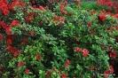 Rhododendron Ordeur