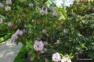 Rhododendron x Clivianum