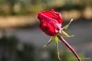 Rosas y rosales_9