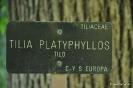 Tilo Tilia Platyphyllos