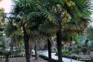 Trachycarpus Fortunei_11