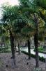 Trachycarpus Fortunei_12