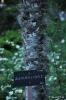 Trachycarpus Fortunei_1