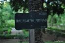 Trachycarpus Fortunei_3