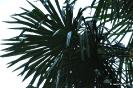 Trachycarpus Fortunei_7