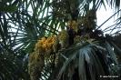 Trachycarpus Fortunei_8