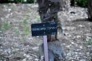 Trachycarpus Fortunei_9