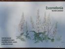 Escorodonia